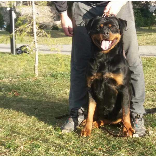 Allevamento cuccioli Rottweiler