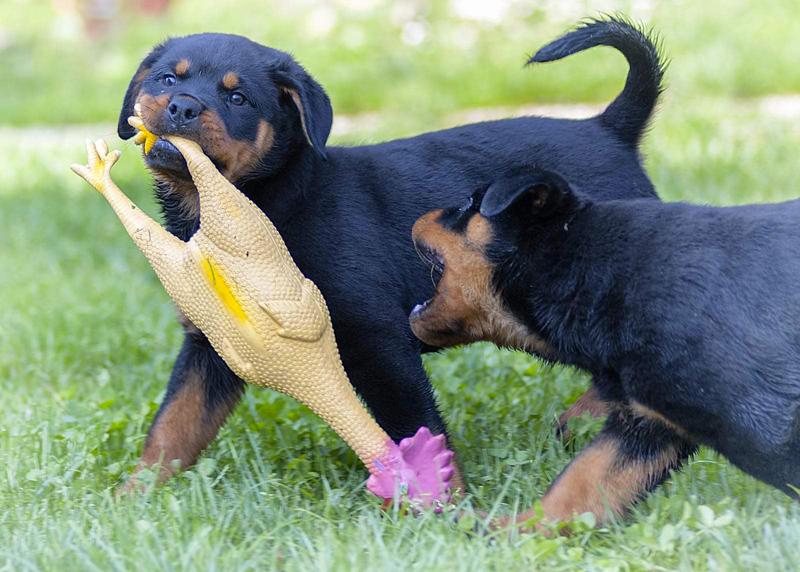 Cuccioli Rottweiler Magenta